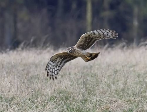 Hen Harrier Habitat mapping