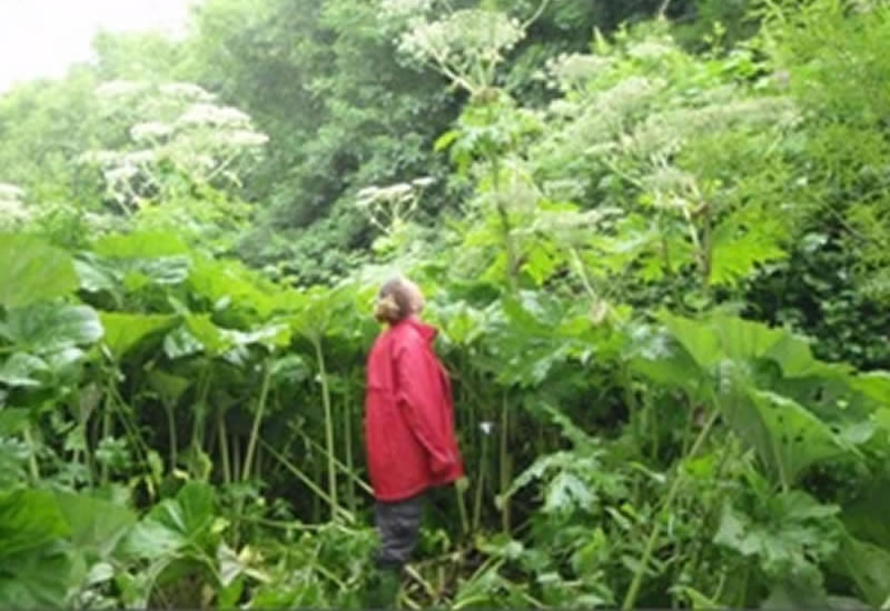 Invasives_hogweed